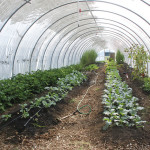 Real Food Farm_inside hoophouse